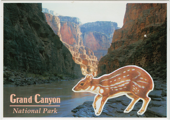 Postcard collage of Asian chevrotain in the Grand Canyon.