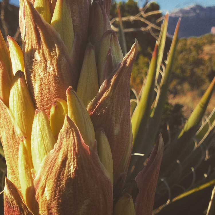 Close-up of flower stalk on a yucca in Grand Canyon
